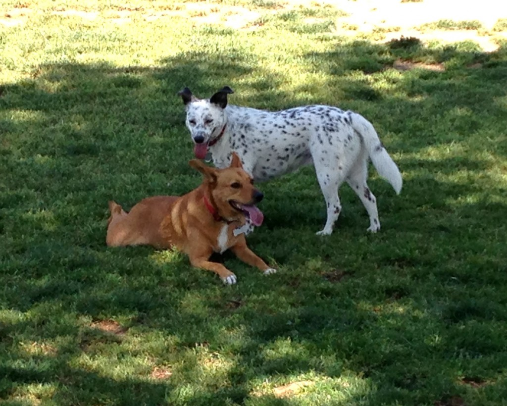 Harley making new friends at the dog park