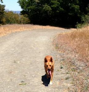 Harley powering through our hot weather hike