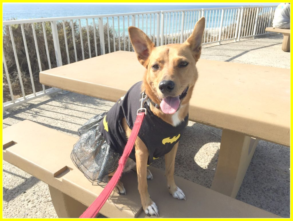 Harley the Batgirl on our walk along the beach yesterday