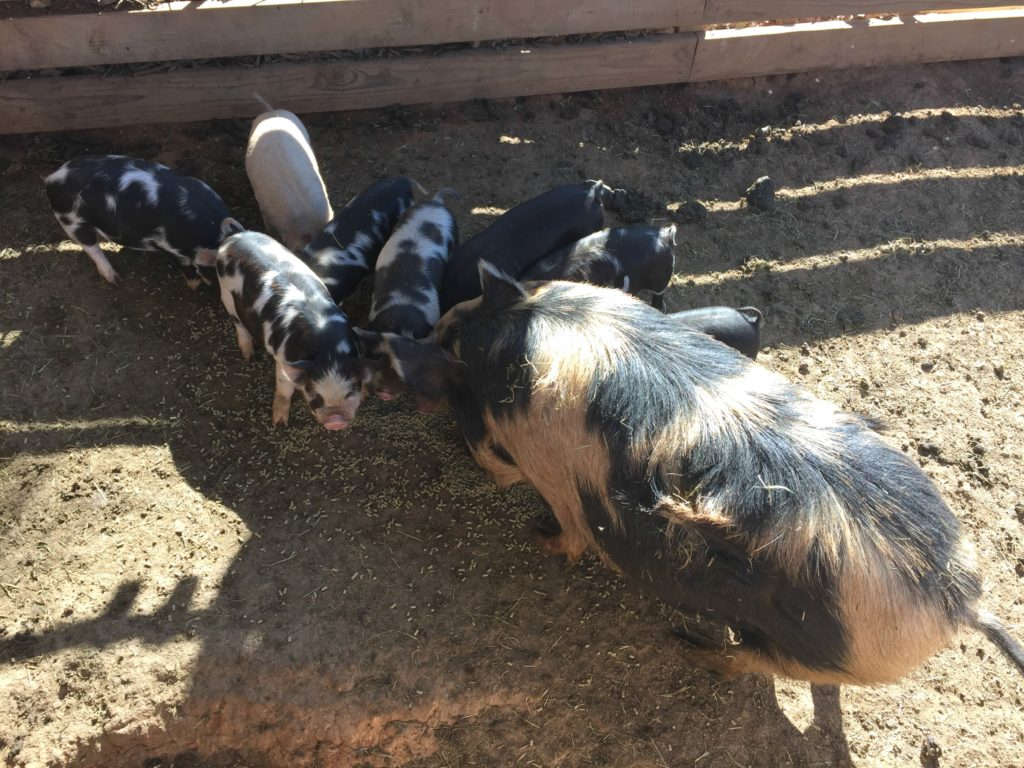 Sisters Heritage Farms pigs