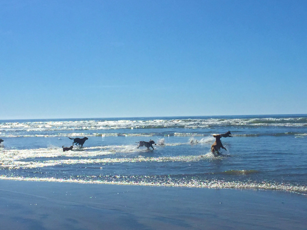 dogs playing at dog beach