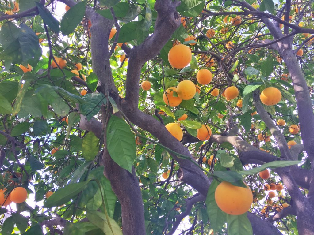 Orange tree-Jan 16