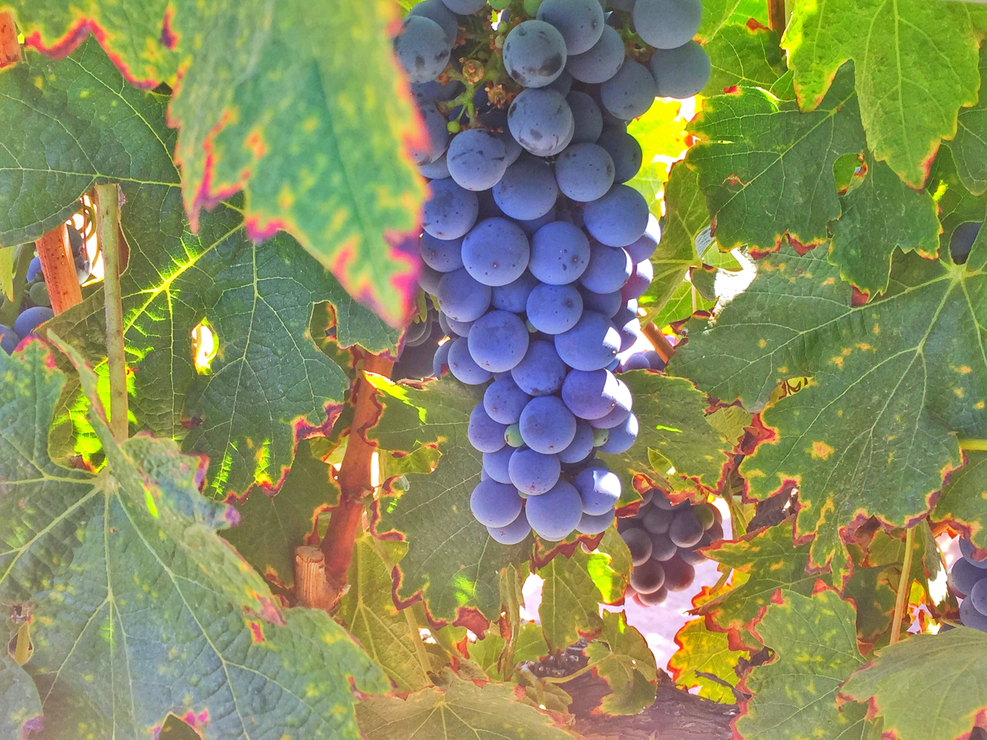 Leoness Cellars grapes-Aug 2016